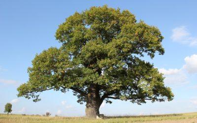 Le chêne qui m'a appris à slamer la vie