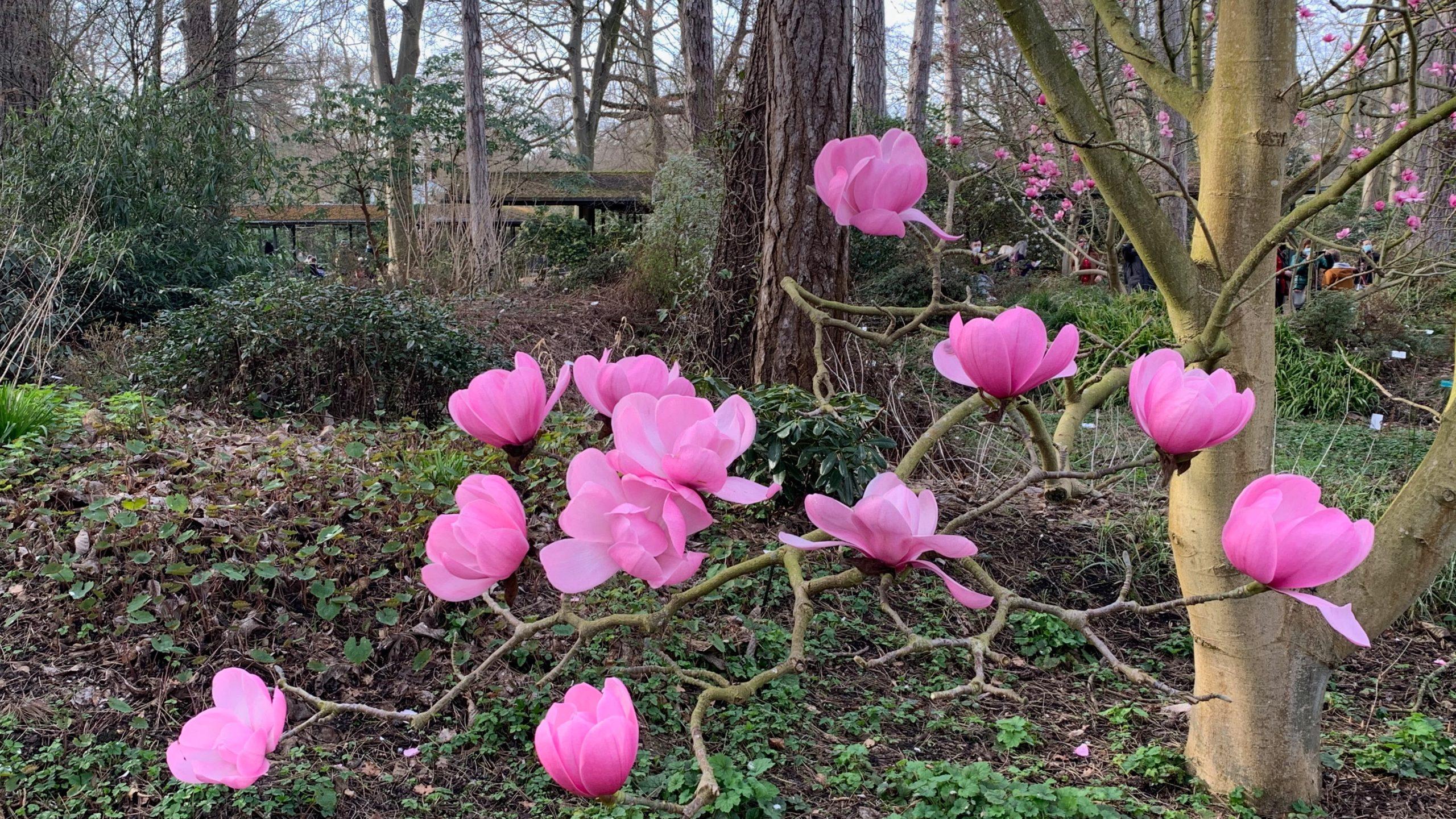 Magnolia au printemps -Parc floral de Paris